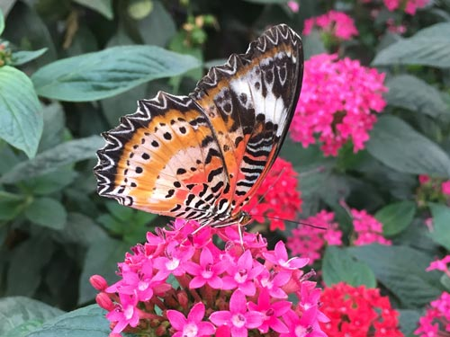 There are butterflies of all shapes and colours at the NHM's Sensational Butterflies pavilion.